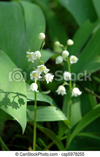 lilies of the valley - csp5978255