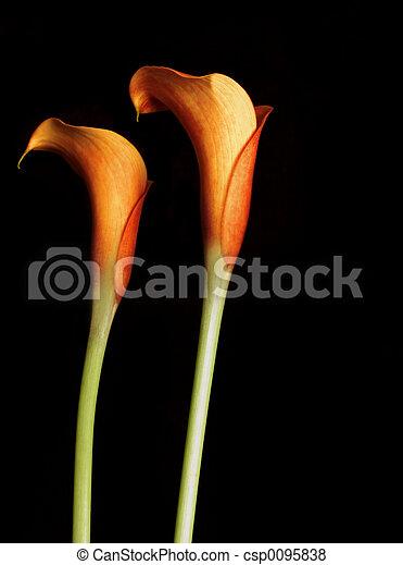 lillies, オレンジ, calla - csp0095838