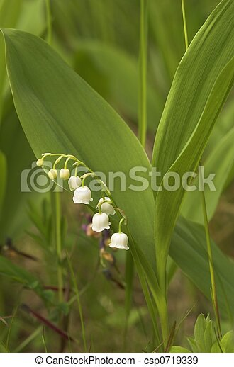 Lilly-of-the-Valley - csp0719339