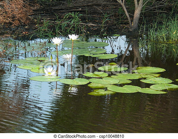 Lilly pads - csp10048810