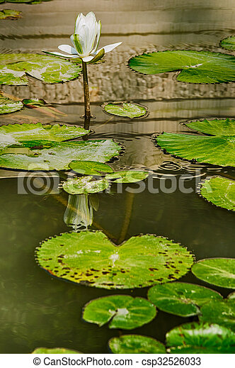 lilly pads - csp32526033