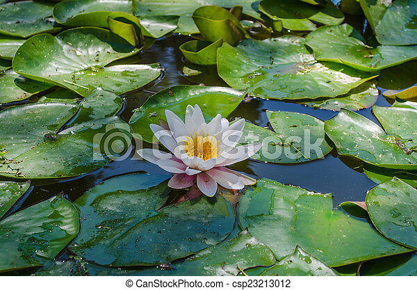 Lily in a pond - csp23213012
