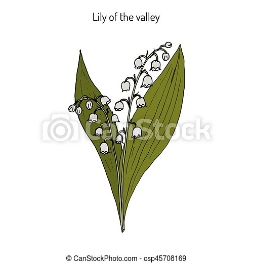 Lily of the valley Convallaria majalis - csp45708169