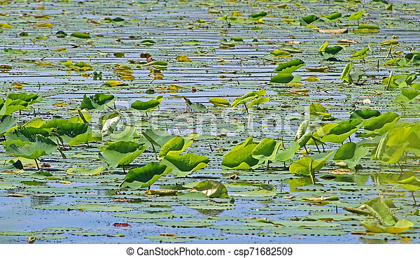 Lily pad leaves in lake - csp71682509