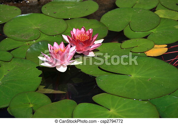 Lily Pad With Flower A Pretty Lotus Flower On The Water
