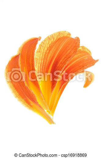 lily petals isolated on white background