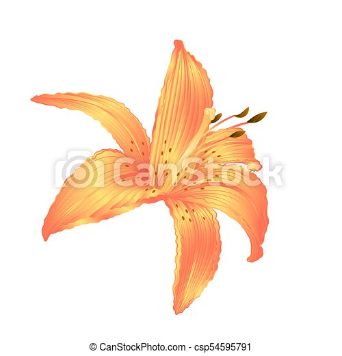 Lily yellow flower on a white background vectoreps lily yellow lily yellow flower on a white background vectoreps mightylinksfo