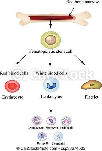 Limbo blood cells in bone marrow. Infographics. Vector illustration - csp33674583