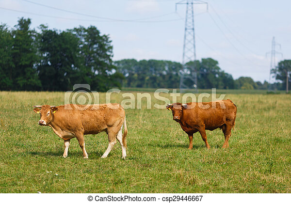 Limousin cattle on the field - csp29446667