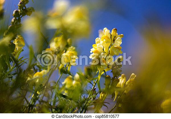 linaria, detail, květ, vulgaris, názor, louka, bylina, yellow-white, - - csp85810577