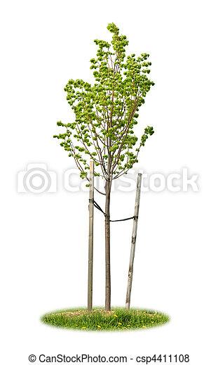 linden, árvore, isolado, jovem - csp4411108