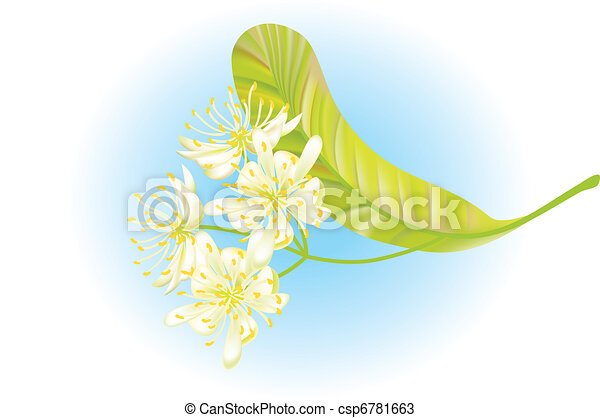 Linden flowers. Vector illustration. - csp6781663