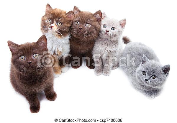 lindo, cinco, brititsh, gatitos - csp7408686