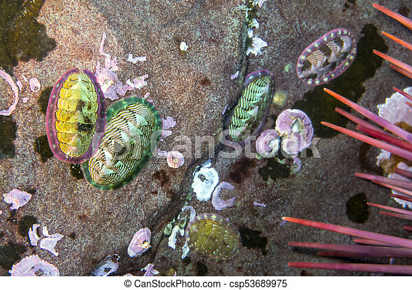 Lined Chiton (Tonicella lineata) - csp53689975