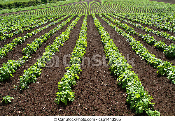 Lines of green vegetables in a farm field. - csp1443365