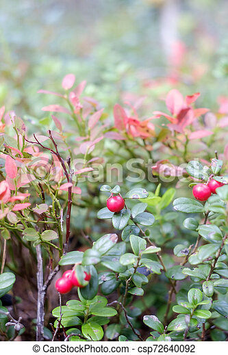 lingonberry berry in the forest - csp72640092