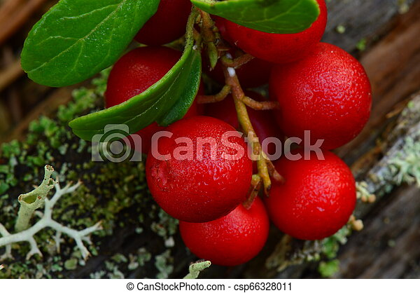 Lingonberry bunch of ripe bright red berries in the morning dew - csp66328011