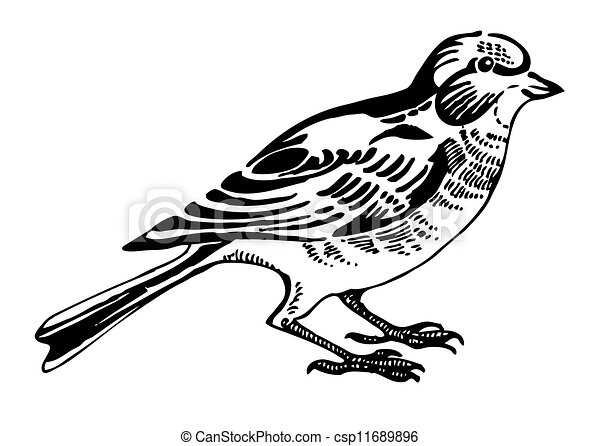 Linnet bird, sketch drawing - csp11689896