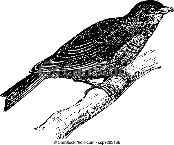 Linnet or Carduelis cannabina, vintage engraving - csp9283166