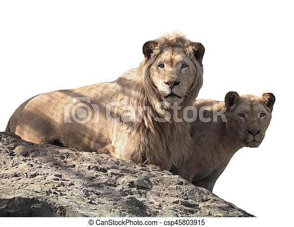 Lion and lioness couple of lovers at the top of mountain isolated at white - csp45803915