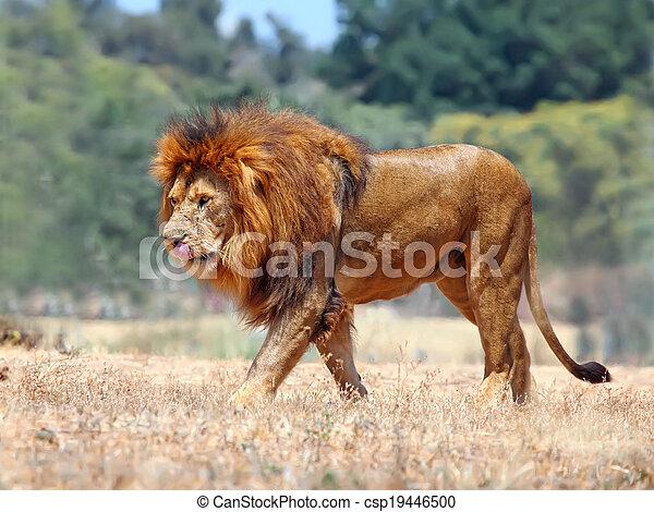 lion - csp19446500