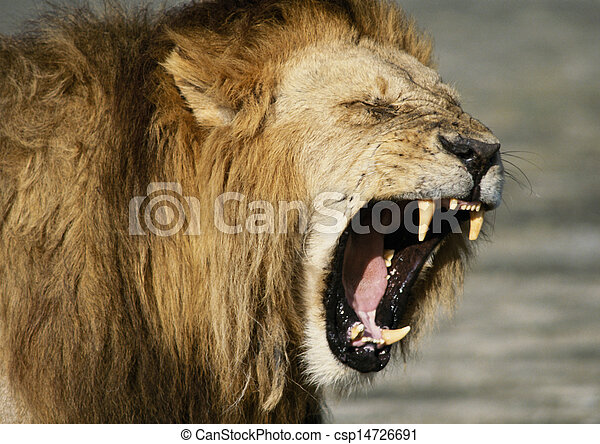 Lion baring fangs,focus on head - csp14726691