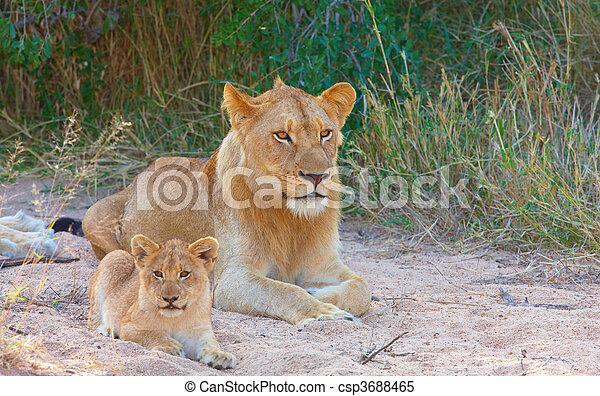 Lion cub (panthera leo) in a pride - csp3688465