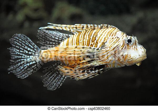 Lion fish - csp63802460