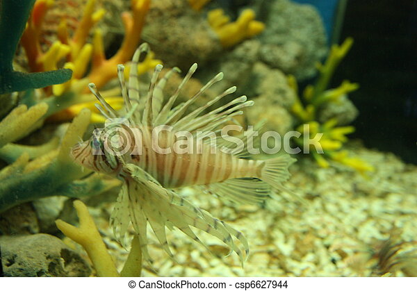 Lion Fish - csp6627944
