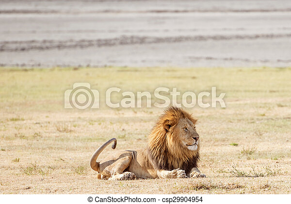 Lion in Serengeti - csp29904954