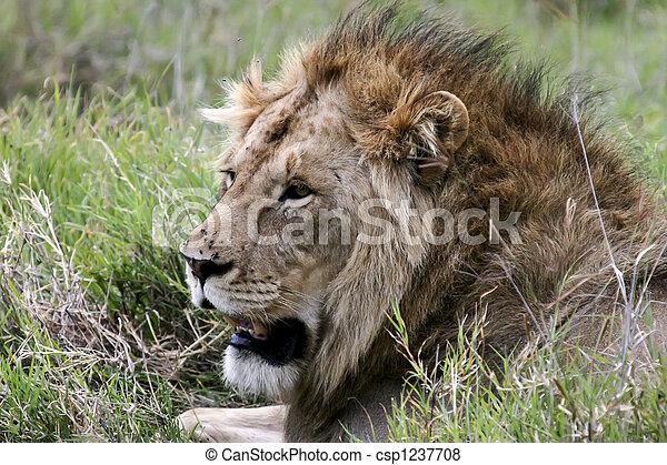 Lion in the Serengeti - csp1237708