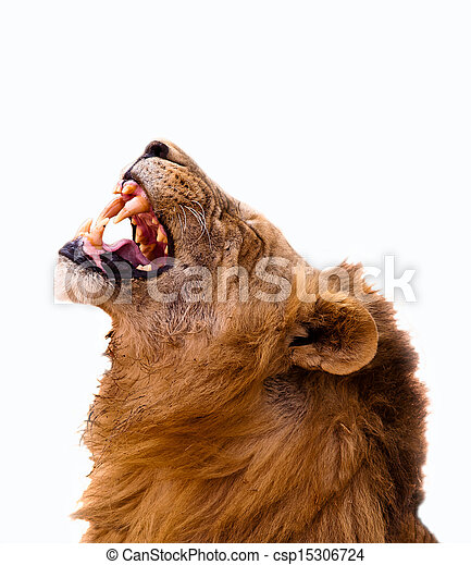 Lion Isolated on a white background - csp15306724