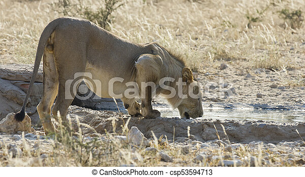 Lion male drinks water from a pond in the Kalahari - csp53594713