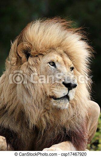 Lion Male - csp17467920