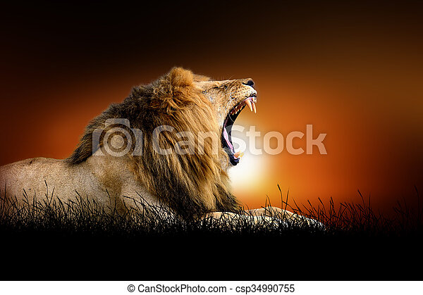 Lion on the background of sunset - csp34990755