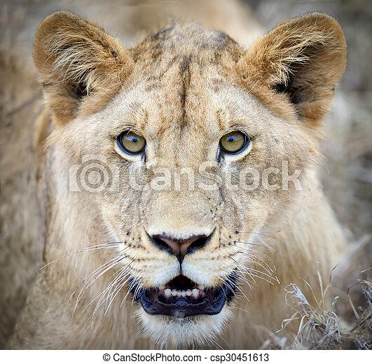Lion portrait - csp30451613
