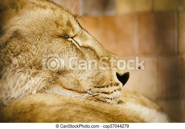 Lion Portrait - csp37044279