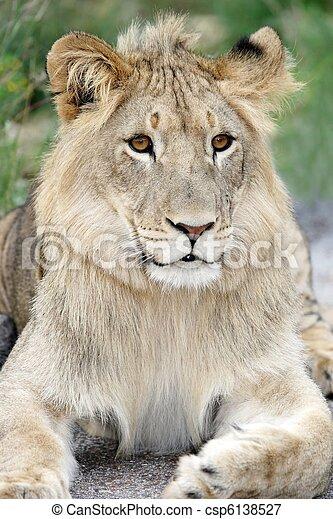 Lion Portrait - csp6138527
