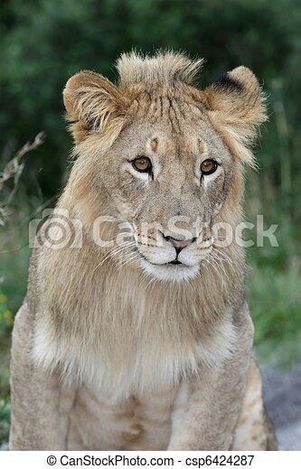 Lion Portrait - csp6424287