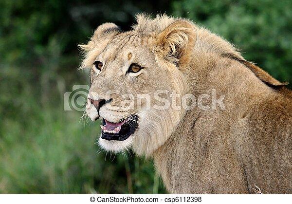 Lion Portrait - csp6112398