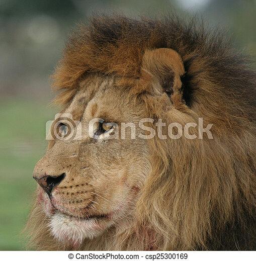 lion portrait - csp25300169