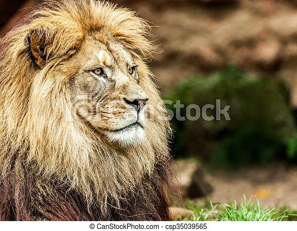 lion portrait - csp35039565