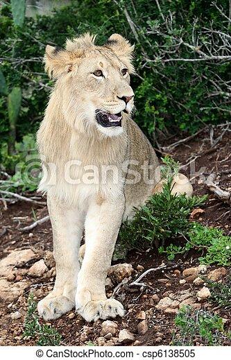 Lion Portrait - csp6138505