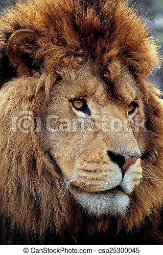 lion portrait - csp25300045