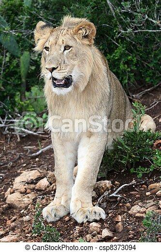 Lion Portrait - csp8373094