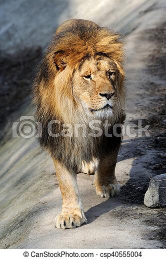 Lion portrait - csp40555004