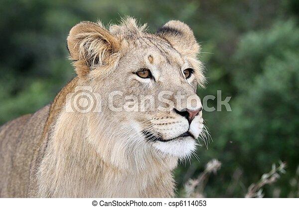 Lion Portrait - csp6114053