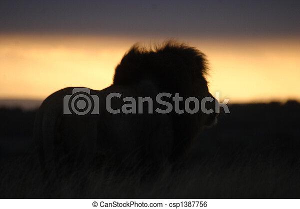Lion Watching the Sunset - csp1387756