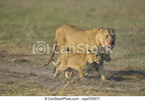 Lioness after hunting with cubs. - csp4763071