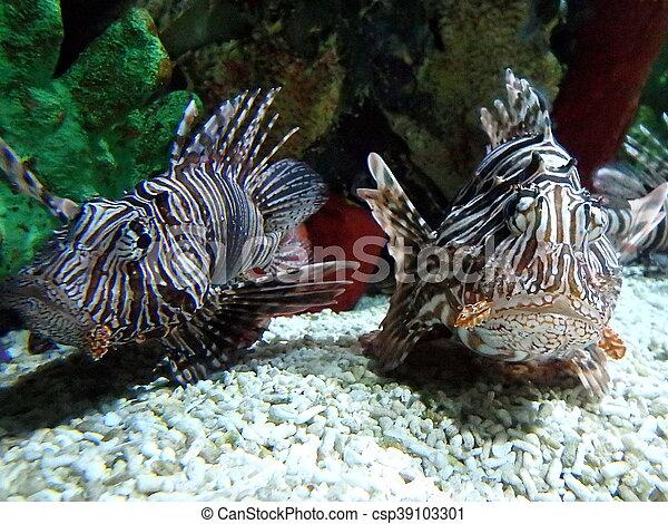 lionfish, - csp39103301